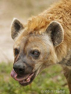 Hyena Hyena Hyena
