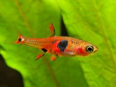 This species has been traded as B. sp. 'micros' or 'red micros', B. sp. 'Petch Noi', B. sp. 'Thailand', B. sp. 'south Thailand' or 'strawberry rasbora'   © Peter Macguire
