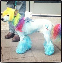 Rainbow Dash styled Poodle