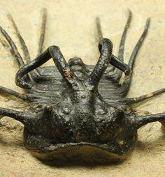 化け物という名が付く三葉虫ディクラヌルス・モンストローサス。半分透かし彫りなり!/古生代デボン紀(4億1000万 -- 3億6700万年前)/カーブ計測(棘先まで約)6cm 母岩11.5cm×11cm×高4cm / 496g