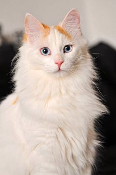 cat breeds and Breed information - Turkish Van.owned one of these wonderful cats -- called him Mr.Rare cat breeds and Breed information - Turkish Van.owned one of these wonderful cats -- called him Mr. White Cat Breeds, Rare Cat Breeds, Rare Cats, Best Cat Breeds, Cute Cats And Kittens, I Love Cats, Cool Cats, Ragdoll Kittens, Kitty Cats