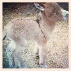 Baby donkey. #baby #donkey