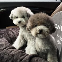 . They are silver toy poodles . I don't sell my dogs . Please don't ask me my dogs price . . . #무례한다이렉트땜에지쳐요 #저리써놔도종류가뭐냐고또묻겠지요 #마늘 #후추 by spicedogsss