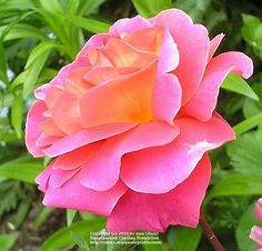 Photo of Rose (Rosa 'Catalonia') uploaded by zuzu