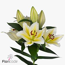 Follina 'Oriental' White & Yellow lilies are great for flower arrangements for weddings and events! Creating a natural and textured look! Head over to www.trianglenursery.co.uk for more information! Great wholesale prices!