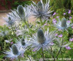 ALPPIPIIKKIPUTKI -  ALPMARTORN Eryngium alpinum. Kukinnon väri: hopeansininen. Kukinta-aika: heinä-elokuu. Valovaatimus: aurinkoinen. Korkeus: 80 cm. Kestävyys: kestävä.