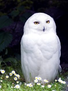Snowy Owl in A Field of Tiny Daisies | Content in a Cottage