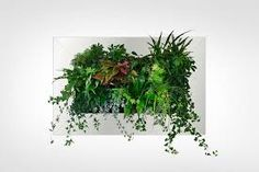 Live Picture - Living Plant Art on your Wall