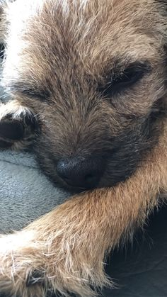 Border Terrier Eddie