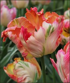 Not your grandmother's tulips! With big, billowy blooms, Tulip Apricot Parrot celebrates spring with a sensational swirl of colors on frilly edged petals. Bulb Flowers, Tulips Flowers, Sugar Flowers, Exotic Flowers, Amazing Flowers, Daffodils, Pretty Flowers, Spring Flowers, Beautiful Flowers Garden