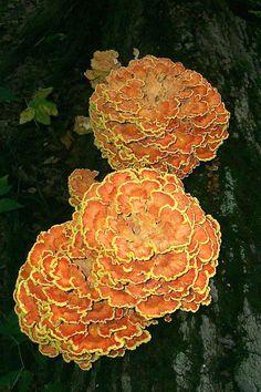 Chicken mushroom (Laetiporus sulphureus) ;)