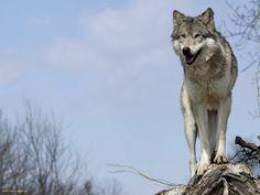 Дикий Йеллоустоун. Волчица. Wolf Photography, Wolf Photos, Wolf Love, Wild Wolf, Beautiful Wolves, Big Bad Wolf, Native American Tribes, Livestock, Animales