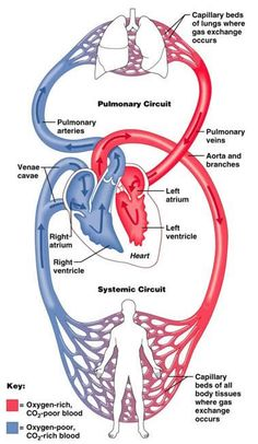 A&P 2 Chapter The Circulatory System: Heart and Blood Vessels Flashcards The Human Body, Science Biology, Medical Science, Circulation Pulmonaire, Heart Anatomy, Nursing School Notes, Cardiac Nursing, Medical Anatomy, Human Anatomy And Physiology