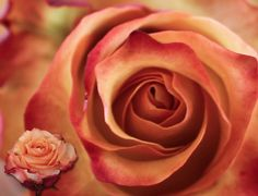Uhuru Flowers - Producers of superior quality cut roses :: Varieties Raw Chocolate, Superior Quality, Burnt Orange, Istanbul, Roses, Flowers, Plants, Autumn, Colour