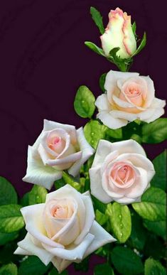 ünal – Mehmet Hançer – Join the world of pin Beautiful Flowers Wallpapers, Beautiful Rose Flowers, Love Rose, Amazing Flowers, Pretty Flowers, Tea Roses, Pink Roses, Flower Wallpaper, Flower Power