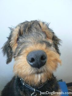 This is Rupert he is 18 weeks old Airedale puppy and his name is just as adorable as he is , he is just so cute