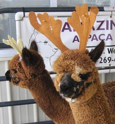 Amazin' Grazin' Alpaca Ranch LLC is an alpaca product and service supplier located in Schoolcraft, Michigan owned by Angela Mallory.