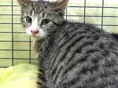 NYC Has 23 Cats/Kittens on their Kill list for May 24'14 - All Beautiful & Deserving of a Home. TINSY.ID #A1000169.Female gray tabby & white 4 MONTHS old. STRAY. I came in with Group/Litter #K14-177776 https://www.facebook.com/media/set/?set=a.795841607100495.1073742312.220724831278845&type=3
