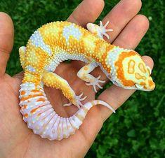 Les Reptiles, Cute Reptiles, Reptiles And Amphibians, Leopard Gecko Cute, Cute Gecko, Cute Lizard, Cute Snake, Cute Little Animals, Cute Funny Animals