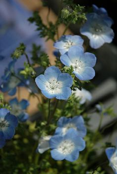 Nemophila menziesii - Baby Blue Eyes