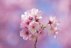sakura (陽光)