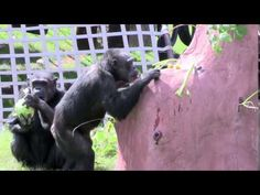 ▶ Chimps Inc.: LIVES WORTH LIVING : Saving one Chimpanzee will not change the world but it will change the world for that one Chimpanzee! A wildlife sanctuary is a place of refuge where abused, injured and abandoned captive wildlife may live in peace and dignity for the remainder of their lives. SANCTUARY IS HOME.