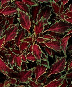 2015: Year of the Coleus - Aurora Black Cherry. Coleus can be grouped into three basic plant forms including upright, rounded and prostrate/trailing.