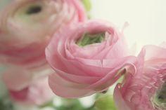 Ranunculus Ranunculus, Rose, Flowers, Plants, Pink, Persian Buttercup, Plant, Roses, Royal Icing Flowers