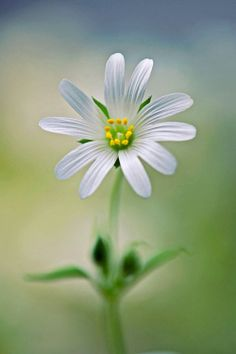 A perfect daisy - love this Amazing Flowers, My Flower, White Flowers, Beautiful Flowers, Simply Beautiful, Beautiful Images, Flowers Nature, Spring Flowers, Daisy Love