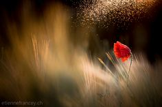 Photograph The desir in wheat... by Etienne Francey on 500px