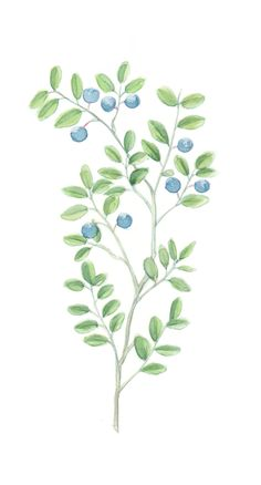 #blueberry #mustikka #forest #berry #greens #nature #illustrations #graphic #design Nature Illustrations, Ivy, Blueberry, Herbalism, Plant Leaves, Berries, Graphic Design, Flowers, Plants