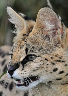 serval cat | Serval Cat showing teeth | Flickr - Photo Sharing!