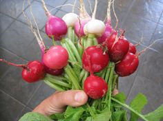 Radishes - Nature's Fast Food! They go from seed to maturity in about 6 weeks. They sprout in around 3 days.
