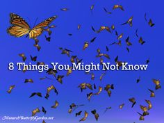 8 Things You Might Not Know about the Magical Monarch Migration including how Monarchs Conserve Energy while Flying Thousands of Miles South. Monarch Butterfly Habitat, Butterfly Migration, 10 Interesting Facts, Garden Oasis, Garden Club, Hummingbird Garden, Beautiful Butterflies, Garden Planning, Gardening Tips