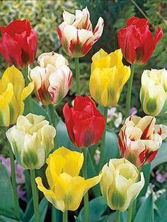 Tulip Mix, Green Mystery