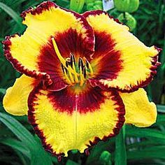 Plant daylilies, or hemerocallis, if you want large drifts of color. Daylily plants are easy to grow and maintain. Daylilies for sale come in many styles. Bulb Flowers, Flower Pots, Beautiful Flowers, Shade Flowers, Flower Seeds, Reblooming Daylilies, Calico Jack, Daylily Garden, Dame Nature