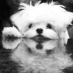 This is MY baby!  Maltese!!