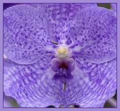 Lilac Orchid in Macro by JenvanW, via Flickr