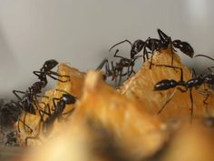 Mega Pest Control is one of the most ant pest control service provider for residential and commercial properties in GTA, Canada. Ant Pest Control, Pest Control Services, Ant Removal, Garden Pests, Macro Photography, Ants, Clean House, Cleaning Hacks, Study
