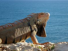 Iguana de Puerto Rico