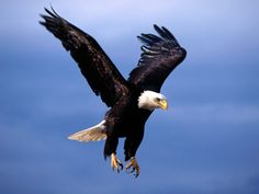 All types of eagle birds in the world with amazing facts. Eagles are some of the largest birds. They are at the top of the food chain, with some species feeding on big prey like monkeys and sloths. The Eagles, Types Of Eagles, Bald Eagles, Bald Eagle Pictures, Eagle Images, Bird Pictures, Eagle Wallpaper, Animal Wallpaper, Eagle In Flight