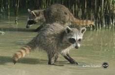 Pygmy Raccoon (Procyon pygmaeus) Critically endangered, Cozumel Island, Mexico