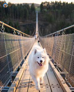 Types Of Dog Shiba Inu - Dog Mom Sayings - Big Dog Illustration - Calm Dog Breeds - Fluffy Dog Medium - Beautiful Dog Breeds, Beautiful Dogs, Baby Animals, Funny Animals, Cute Animals, Samoyed Dogs, Fluffy Dogs, Cute Dogs And Puppies, Dog Photography