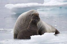 Wittle Walrus