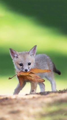 Baby Animals Wild - Welcome Pikide Fox Pictures, Baby Animals Pictures, Cute Animal Pictures, Animals And Pets, Funny Animals, Wild Animals, Farm Animals, Fuchs Baby, Fox Pups