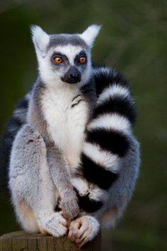 Nice Lemur