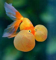 Bubble-eyed Goldfish by Chi Liu