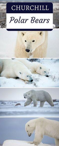 Meet the polar bears in Churchill. It's an experience of a lifetime!