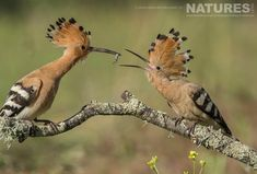 An adult hoopoe gently feeding a caught insect to one of the young from this years clutch photographed on the NaturesLens Birds of Calera Photography Holiday