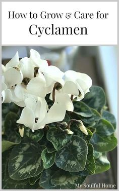How to grow and care for Cyclamen winter hardy plants.  Get the scoop on how to easily & best water Cyclamen for 8 weeks of blooms!